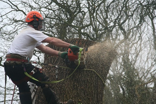 Giant Ash in Mellor Stockport - Myers Tree Care
